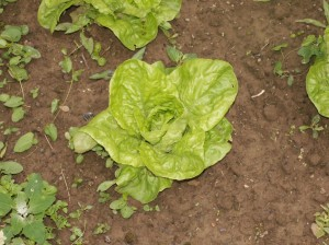 salades3